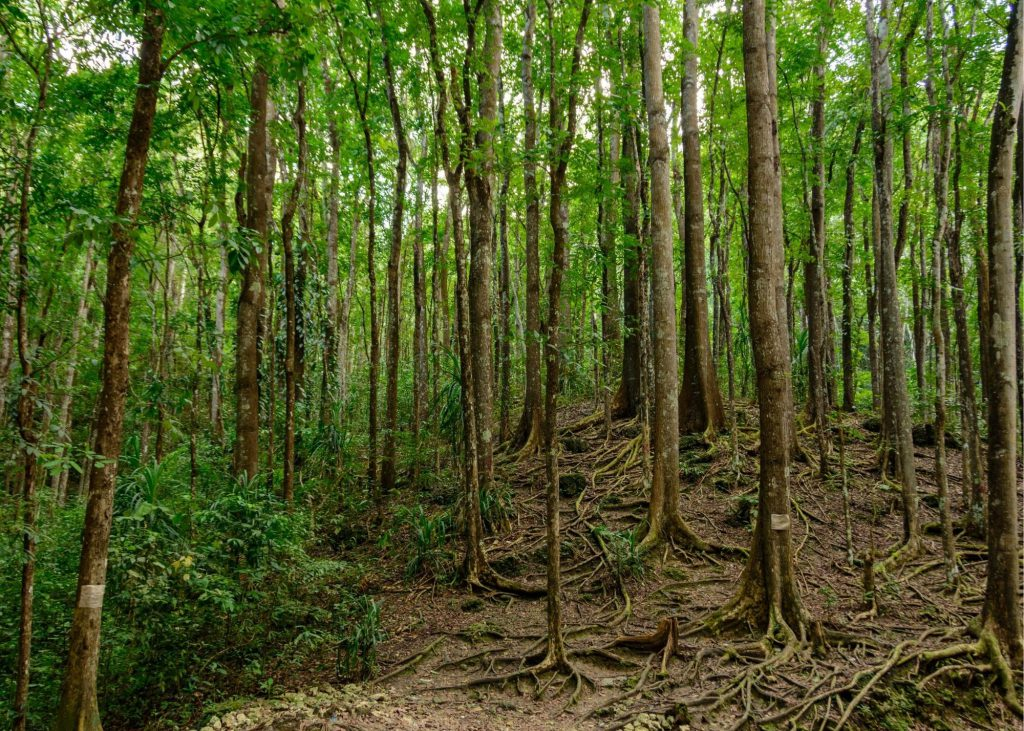Bilar Man-made forest in Bohol, Philippines