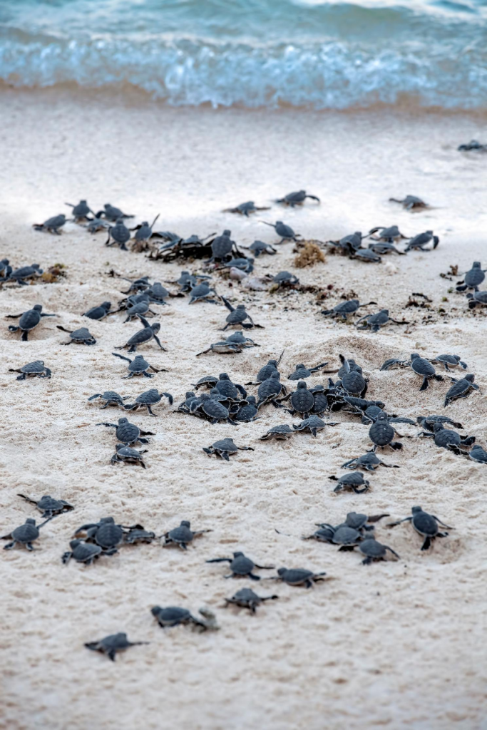 Baby turtles being released to the ocean
