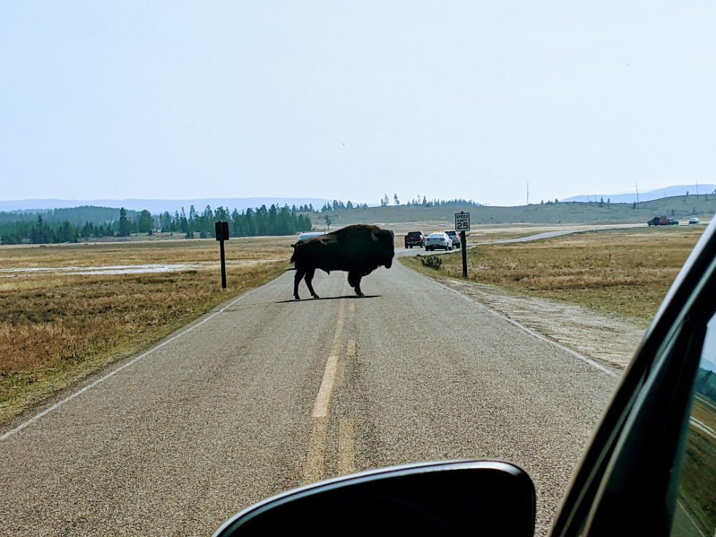 Bison in the road in Yellowstone National Park