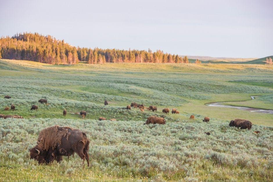 A herd of bison in Hayden Valley