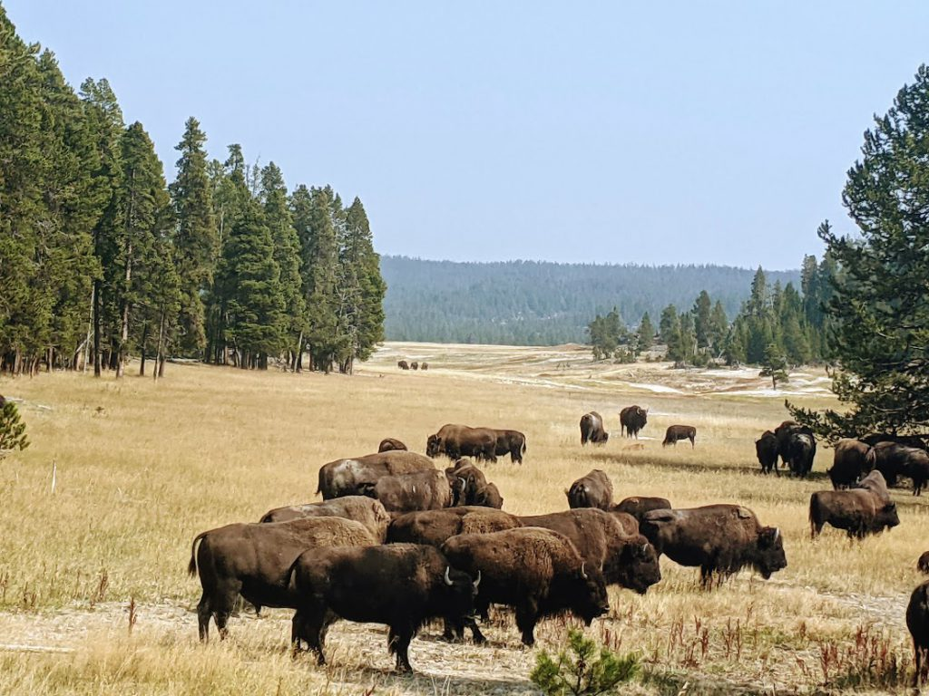 Herd of bison at Yellowstone